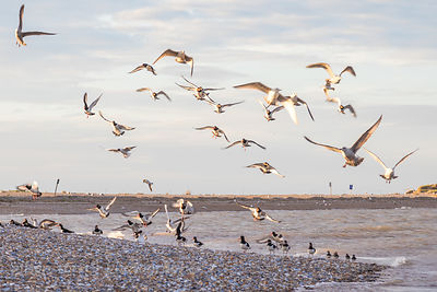 Seagulls and oystercatchers
