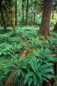 Ferns and Sitka spruce (Picea sitchensis) along the Hoh River, Olympic Rainforest, Washington