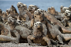 A group of marine igunanas take their place in the sun near Punta Espinosa.