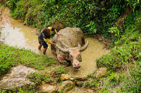 Hmong Child Tending Buffalo