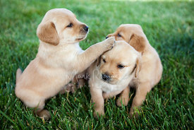 Three Yellow Lab Puppies PlayingTogether on Grass