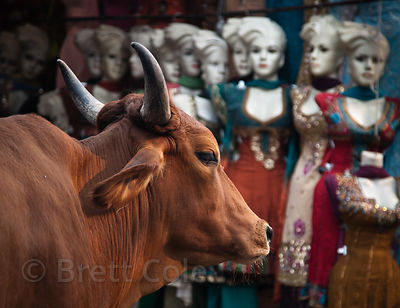 A cow in front of strange looking manequins, Jaipur, Rajasthan, India