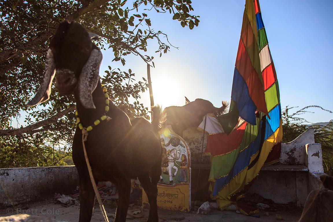 Goat and flags at a temple in Kharekhari village, Rajasthan, India