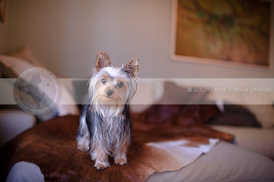 sweet little yorkie dog standing on cowhide on sofa at home indoors