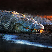 Nile crocodile on riverbank