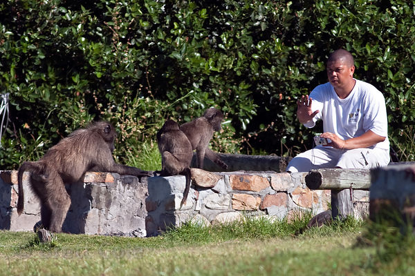 A man photographs chacma baboons from the Buffels Bay troop in the picnic area at Buffels Bay, Cape Peninsula, South Africa