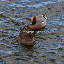 Pair of Eurasian Wigeon (Anas penelope) with the female in front and the male behind, Dumfries & Galloway, Scotland