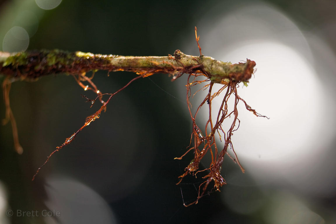 Tiny roots projecting from the end of a stick, Las Nubes, Costa Rica