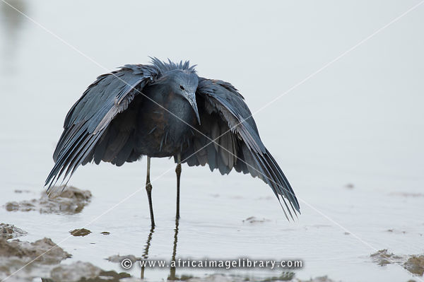 Black Heron (Egretta ardesiaca) canopy feeding in the Rufiji River, Selous Game Reserve, Tanzania