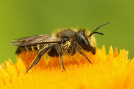 Megachile species - Leafcutter bee species