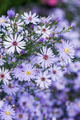 Aster 'Little Carlow' (AGM). Sir Harold Hillier Gardens/Hampshire County Council, Romsey, Hants, UK