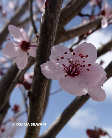 Blossom of Cherry