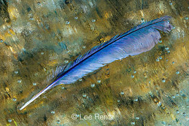 BLUEBIRD FEATHER ON ICE