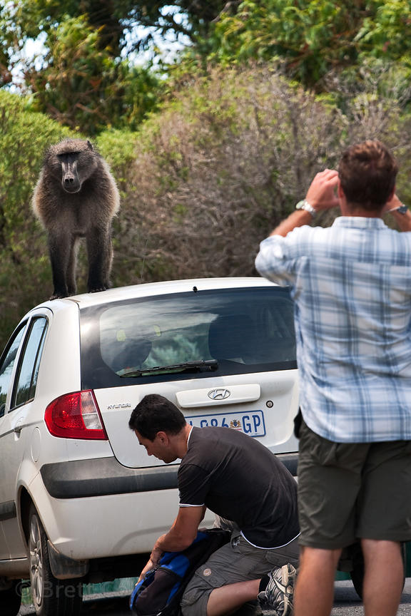 An alpha male chacma baboon from the Smitswinkel troop interacts with motorists along the M4 near Miller's Point, Cape Penins...