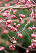 Euonymus oxyphyllus. The Sir Harold Hillier Gardens/Hampshire County Council, Romsey, Hants, UK