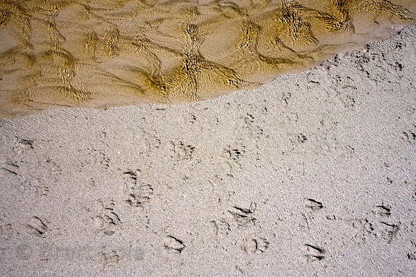 Chacma baboon footprints on the beach at Buffels Bay, Cape Peninsula, South Africa