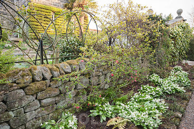 Border of Erythronium californicum 'White Beauty' below flowering quince and ornamental metal work trellis. York Gate Garden,...