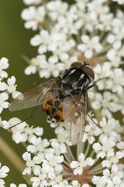 Graphomya maculata, Male