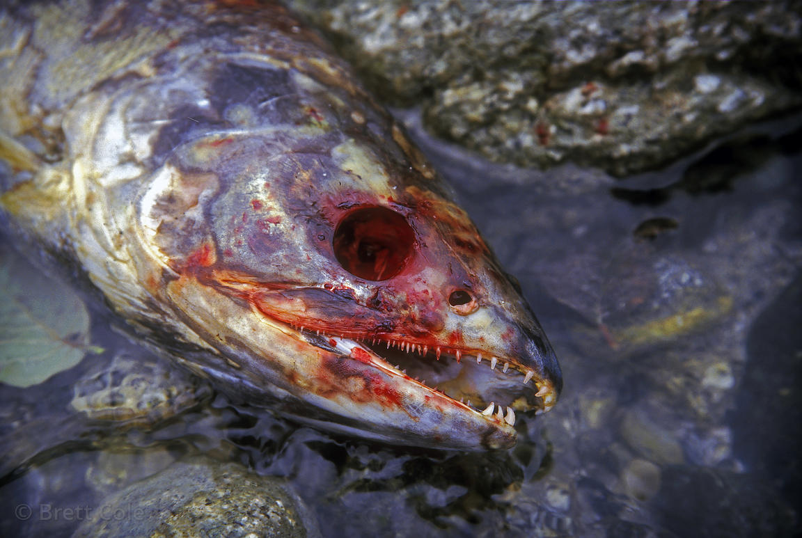Spawned salmon in Throsen Creek, its eyes plucked out by birds. Great Bear Rainforest of British Columbia