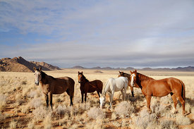 A small herd of five horses, four brown and one white, on a plain in the desert, mountains in the distance