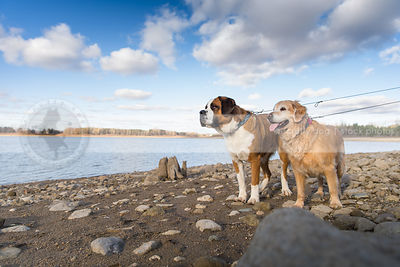 two dogs standing together on lake shore beach with sky and clouds