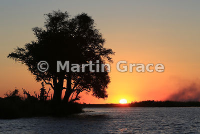 Jackalberry trees (Diospyros mespiliformis) at sunset, River Chobe, Botswana