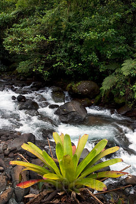 A bromeliad (pineapple family) on the banks of the Rio Penas Blancas, Costa Rica