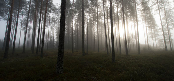 Furuskog / Pine forest, Elverum, Norway