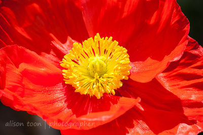 Red Icelandic poppies in bloom