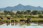 Herd of buffalo drinking at a waterhole, Syncerus caffer, Kidepo Valley National Park, Uganda