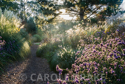 Early mornng sun illuminates grasses including miscanthus and Cortaderia 'Sunningdale Silver', and perennials such as Verbena...