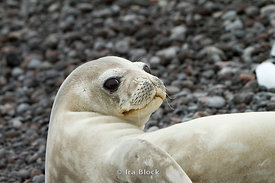 A weddell seal found at the seashore of the Antarctic Peninsula