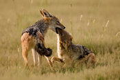 Black-backed jackals playing (Canis mesomelas), Etosha National Park, Namibia