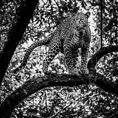 06343-Leopard_in_the_forest_1_Kenya_2018_Laurent_Baheux