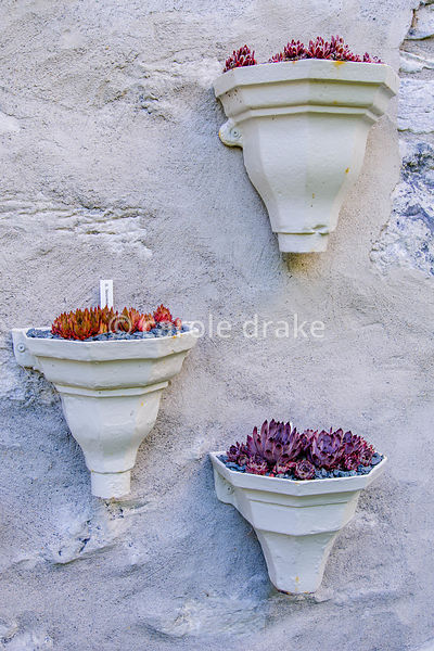 Sempervivums displayed in vintage drainpipe hoppers on the back wall of the cottage at Caher Bridge Garden, Fanore, Ireland