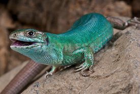 Lacerta bilineata, Western green lizard, France