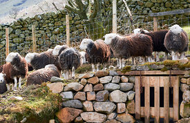A flock of Herdwick Sheep on the rocky mountain ground in the English Lake District.