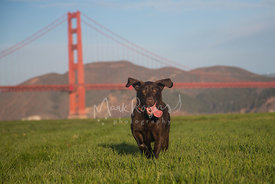 Chocolate Lab Running in Front of Golden Gate Bridge with Ears Up