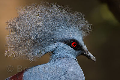 Western crowned Pigeon (Goura cristata), National Zoo, Washington D.C.