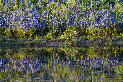 Bluebonnet Reflections