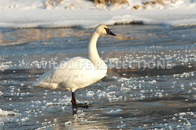trumpeter_swan_standing_ice20120101_0001