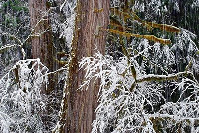 Western red cedar (Thuja plicata) trees in winter along along the McKenzie River, Oregon Cascades