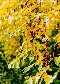 Autumn leaves on a tree 9