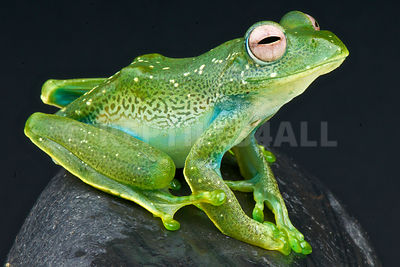 Reticulated tree frog  (Boophis sibilans)
