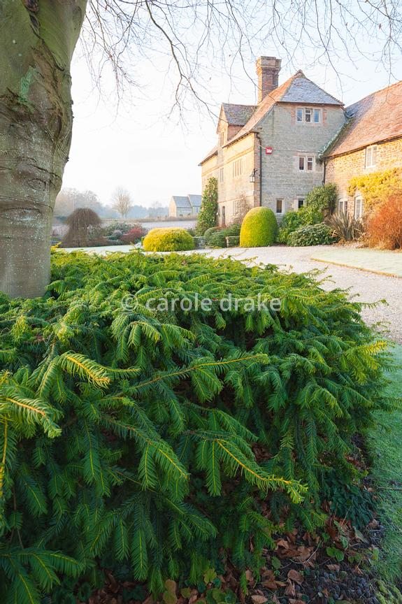 Front garden with gravel drive, Cephalotaxus harringtonia var. drupacea, Japanese plum yew, shaped around beech trunk like a ...