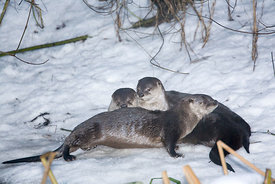 December - River Otters