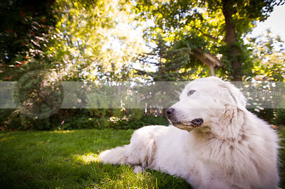 sweet white dog lying resting on lawn in yard in summer