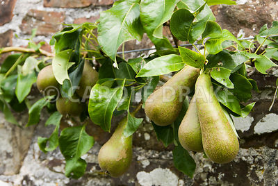 Conference pear. Clovelly Court, Bideford, Devon, UK