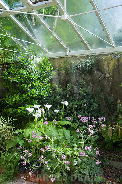 Conservatory built between the house and the rocky outcrop behind it, is home to a range of tender species including Geranium...