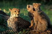 Cheetah (Acinonyx jubatus) with cubs, Phinda Game Reserve, KwaZulu-Natal, South Africa